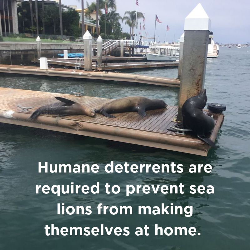 Humane deterrents are required to prevent sea lions from making themselves at home.